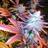 Cannabis\u00a0
